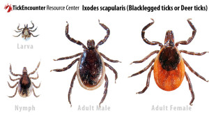 Iamge of Blacklegged ticks or Deer Ticks