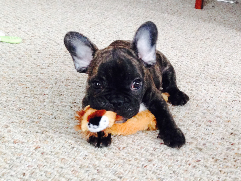French Bulldog, JJ at 10 weeks